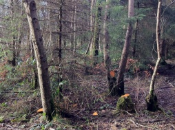 This might look like a mess but even in this part there is (with more thinning) great potential to have broadleaves and conifers growing well together. Padraig was saying eventually there will only be 3 or 4 trees here; when the forest gets really big. Still find it hard to imagine our forest changing so much but it has, even in just the four years since we last thinned.