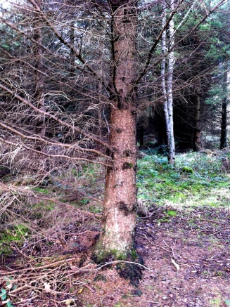 This is another example of a wolf tree. Its bulging at the botton and knotty with branches.