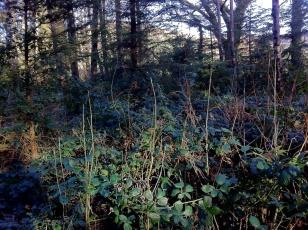 ash, naturally regenerating, Ireland