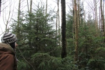Conifers waiting to be released