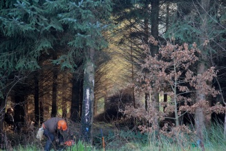 Sean selectively harvesting a large conifer to favour our Oak, Aspen and birch