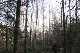 This area is predominately pioneer Alder that was thinned very late, its tall and thin