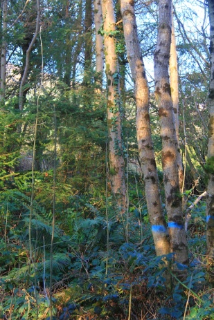 Lots of Ash regenerating under Alder which will be removed to let in more light for the Ash