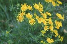 Ragwort (Senecio vulgaris) despite all the negative press has good biological value