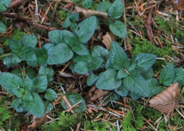 The self-heal plant related to ground ivy, lighter purple flower, common in woodland clearings.