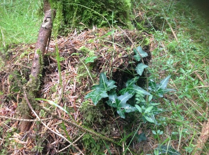 Common ivy creeps everywhere, along with sphagnum moss and brambles.