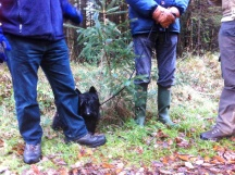 Dogs are always keen to learn about forestry - note the Sitka spruce regenerating here.