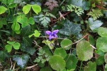 The tiny but beautiful dog violet; the bright green, edible clover-like sorrel; the rounder navel wort; the darker veined ivy; with the feather leaves of the medicinal herb Robert too
