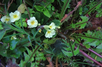 Late primroses with the detox dandelion leaves