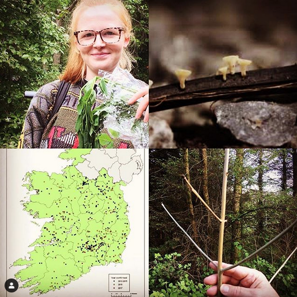 [Left] Sarah holding Ash tree leaves from Hollywood forest affected with Ash dieback. [2] Ash dieback fungal growth on twig lead litter in the forest [3] Incidence of Ash Dieback in Ireland [4] Brown leafless stem of young Ash, now dead, sapling in Hollywood forest.
